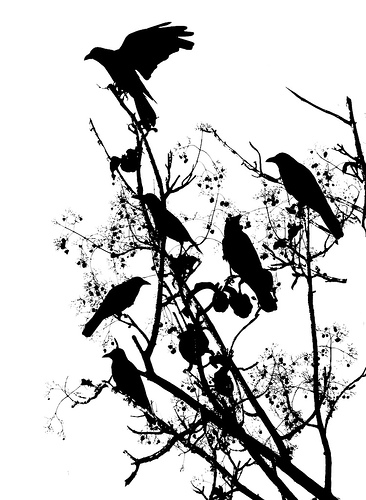 crows