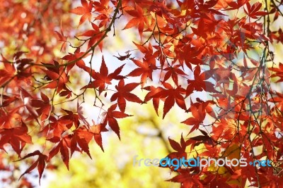 autumn-maple-leaves-100137373